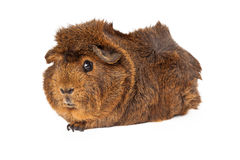 Peruvian Guinea Pig laying to side Stock Image