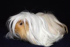 Peruvian guinea pig. Long haired peruvian guinea pig Royalty Free Stock Photo