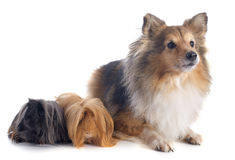 Peruvian Guinea Pig and shetland dog Stock Photos
