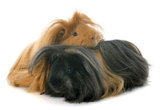 Peruvian Guinea Pigs. In front of white background Stock Photo