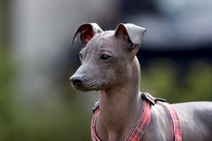 Peruvian hairless dog. Portret of a peruvian hairless dog royalty free stock images