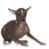 Peruvian Hairless Dog. In front of a white background royalty free stock photos