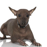 Peruvian Hairless Dog. In front of a white background royalty free stock images