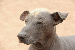 Peruvian Hairless Dog. A Peruvian Hairless Dog an ancient breed of dogs dating back to the pre-inca times royalty free stock photography
