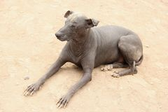 Peruvian Hairless Dog. A Peruvian Hairless Dog, a breed of dogs that dates back to the Pre-Inca times royalty free stock photo