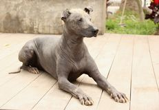 Peruvian Hairless Dog. A Peruvian Hairless Dog an ancient breed of dogs dating back to the pre-inca times royalty free stock image