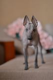 Peruvian Hairless Dog Royalty Free Stock Image