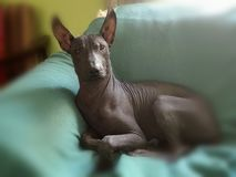 Peruvian hairless dog. Young male medium size Peruvian breed Royalty Free Stock Images