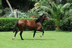 Peruvian horse royalty free stock images