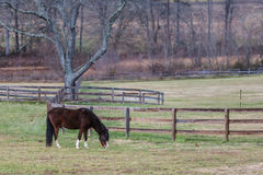 Peruvian Horse in Pasture. A lone Peruvian horse grazes in field of green with backdrop of bare Winter trees Royalty Free Stock Photo