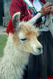 Peruvian Lama. Lama with Peruvian woman spinning yarn in the background and incan ruins. (Peru stock images