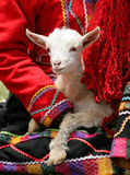 Peruvian Lamb. A lamb being held by a Peruvian woman in traditional dress. (Peru stock images