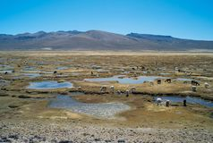 Peruvian Landscape with a Herd of Llamas stock photography