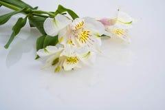 Peruvian Lilies Royalty Free Stock Photo