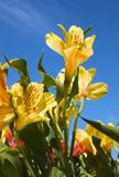 Peruvian Lilly Royalty Free Stock Image