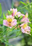 Peruvian lily, Alstroemeria Royalty Free Stock Photo