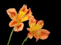 Peruvian Lily (Alstroemeria aurea) Royalty Free Stock Images