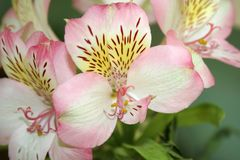 Peruvian lily (Alstroemeria) Royalty Free Stock Image