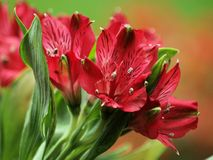 Peruvian Lily Stock Images