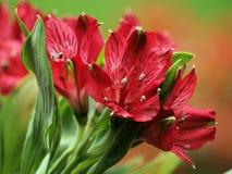 Peruvian Lily. Cut Flowers- Peruvian Lilies- Gardens Stock Images