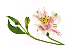 Peruvian lily isolated on white Royalty Free Stock Photo