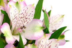 Peruvian Lily. Royalty Free Stock Photo