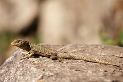 Peruvian lizard Royalty Free Stock Photo