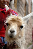 Peruvian Llama. Close up Shot of a Peruvian Llama Stock Photography