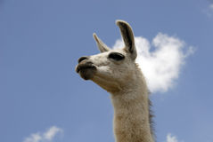 Peruvian Llama. Close up Shot of a Peruvian Llama Stock Photos