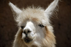 Peruvian Llama. Close up Shot of a Peruvian Llama Royalty Free Stock Photo