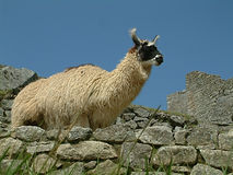 Peruvian Llama Royalty Free Stock Photo