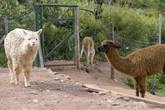 Peruvian Llama and Alpaca Royalty Free Stock Image