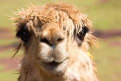 Peruvian Llama. Close up of a Peruvian Llama / Alpaca in Cuzco, Peru Royalty Free Stock Image