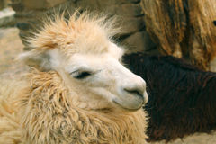 Peruvian llama close-up. full head shoot. Royalty Free Stock Image