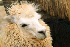 Peruvian llama close-up. full head shoot. Stock Photography