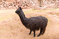Peruvian  Llama. Stock Photo