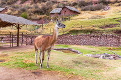 Peruvian  Llama.  Royalty Free Stock Photography