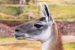 Peruvian  Llama. Farm of llama,alpaca,Vicuna in Peru,South America. Andean animal Stock Image