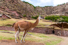Peruvian  Llama. Farm of llama,alpaca,Vicuna in Peru,South America. Andean animal Stock Photo
