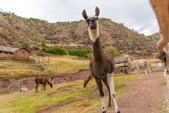 Peruvian  Llama. Farm of llama,alpaca,Vicuna in Peru,South America. Andean animal. Stock Photography