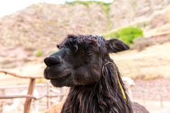 Peruvian  Llama. Farm of llama,alpaca,Vicuna in Peru,South America. Andean animal Royalty Free Stock Photography