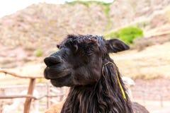 Peruvian  Llama. Farm of llama,alpaca,Vicuna in Peru,South America. Andean animal. Llama is South American camelid Royalty Free Stock Photography