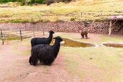 Peruvian  Llama. Farm of llama,alpaca,Vicuna in Peru,South America. Andean animal Royalty Free Stock Photography
