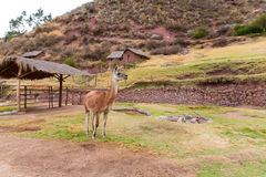 Peruvian  Llama. Farm of llama,alpaca,Vicuna in Peru,South America. Andean animal. Royalty Free Stock Image
