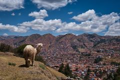 Peruvian Llama standing on hill near Cusco royalty free stock photo