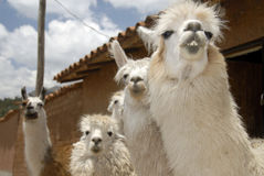Peruvian Llamas. Close up Shot of a Herd of  Peruvian Llama Stock Photo