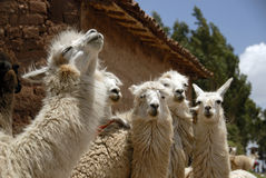 Peruvian Llamas. Close up of a Herd of Peruvian Llama Royalty Free Stock Photo
