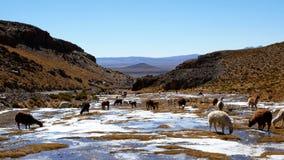 Peruvian Llamas, the famous South American animal, Peru stock photo