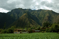 Peruvian Maize Field Royalty Free Stock Images