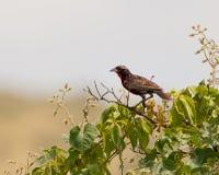 Peruvian Meadow Lark on bush Stock Photo